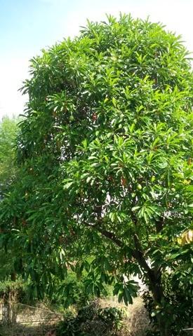pohon bintaro, mirip pohon mangga