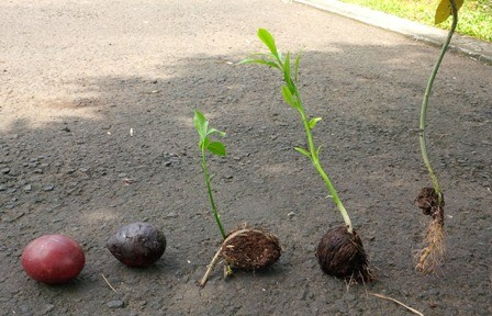 buah dan tunas bintaro