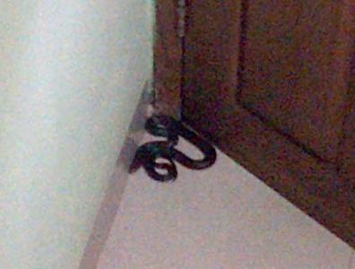 ular hitam (jenis ular tanah) yang masuk ke rumah warga. Entah berbisa atau tidak, yang jelas ngeri...